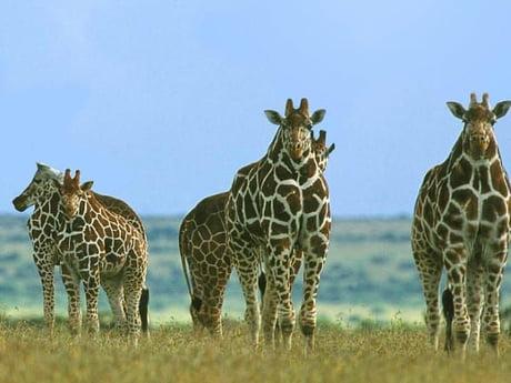 giraffes without necks 9gag