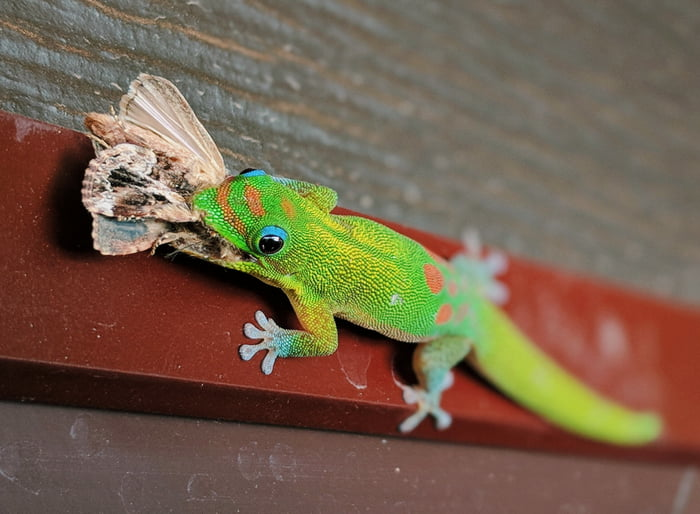 Also Known As The Mascot Of Geico Gold Dust Day Gecko Is Native To Madagascar And Invasive Hawaii After A University Student Released 8