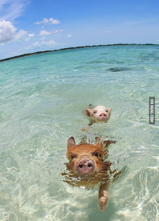 I Lived In The Bahamas For A While. Did You Know Wild Pigs