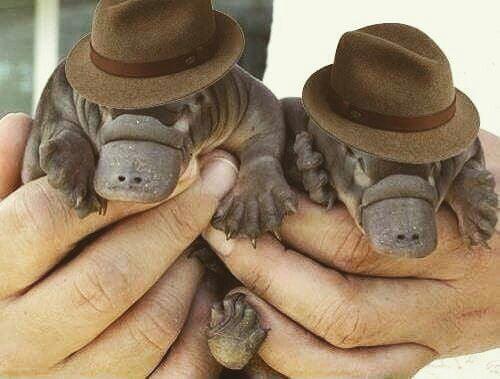 Baby platypus in fedora - 9GAG 5a405f9e18b