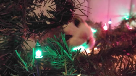 A Majestic Christmas.Everyone Has A Majestic Christmas Cat Picture But I Have A