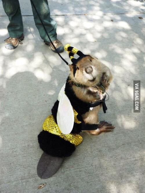 Just in case you haven't seen a beaver in a bee costume