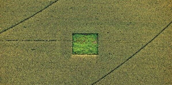 Cannabis field hidden in a corn field.