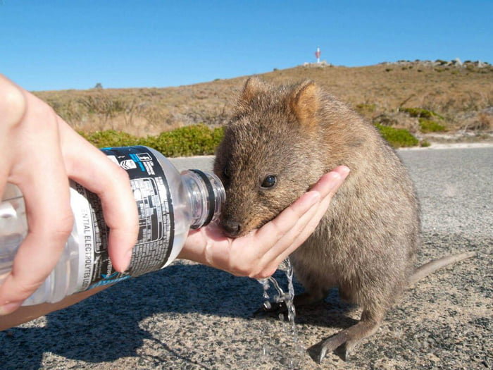 Sharing my water with quokka