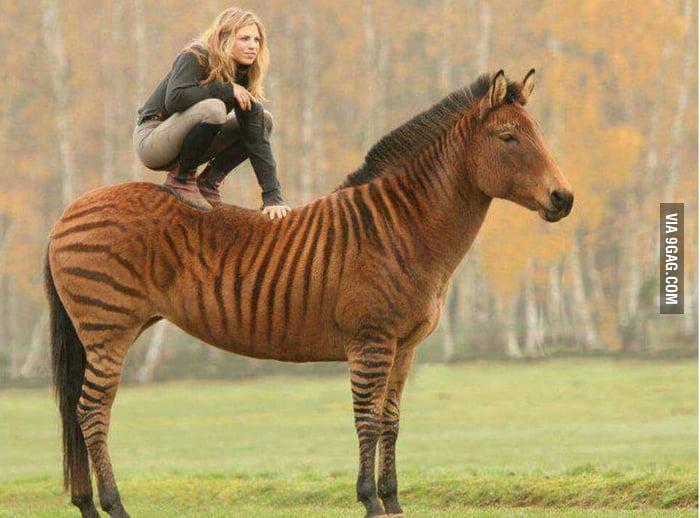 Zorse! Zebra + Horse - 9GAG
