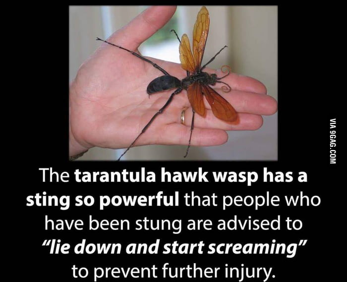 tarantula hawk wasp just let those words sink in for a moment