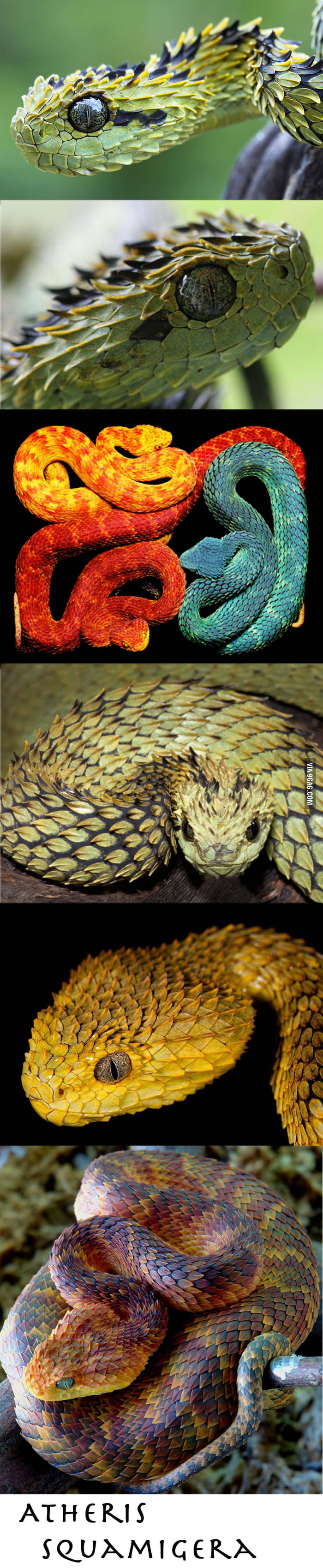 This is Atheris Squamigera, the most beautiful snake on earth
