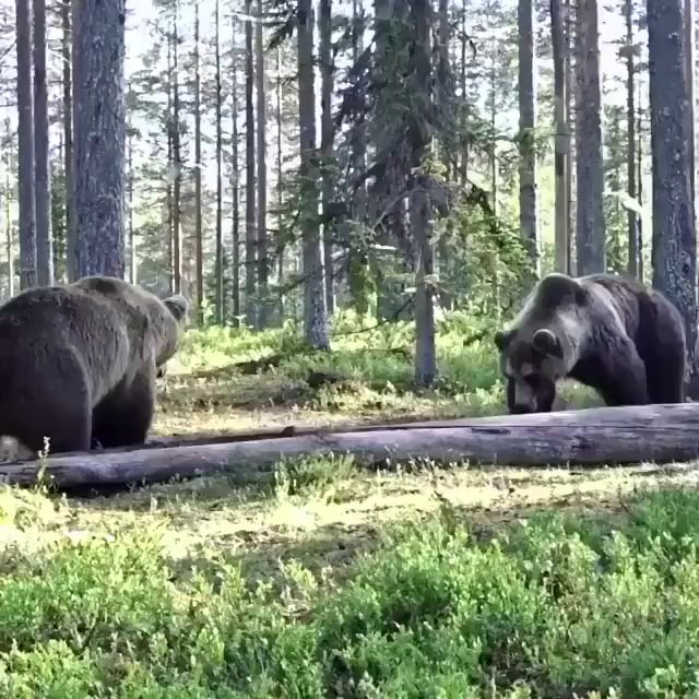 Two grizzly bears settling a score.