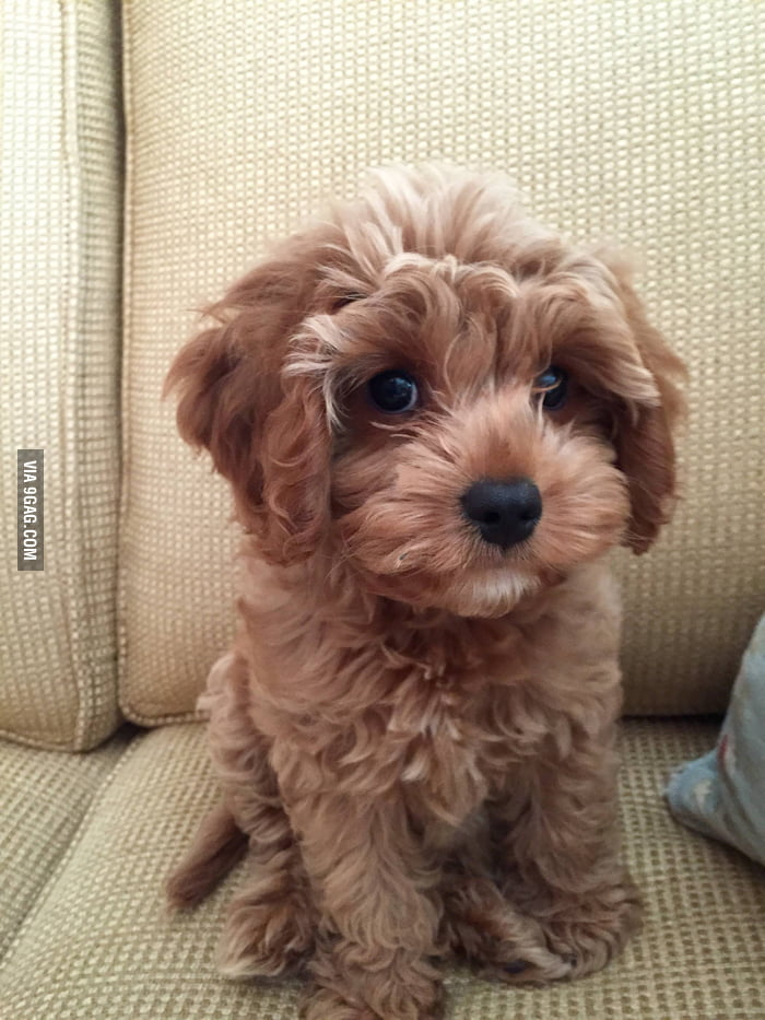 Poodle And King Charles Cavalier Mix