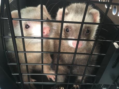 My new ferrets