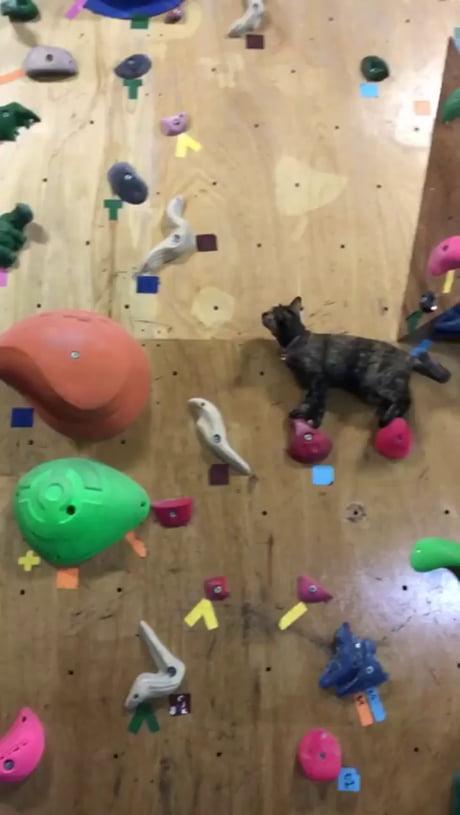 Climbing kitty at the rock climbing wall