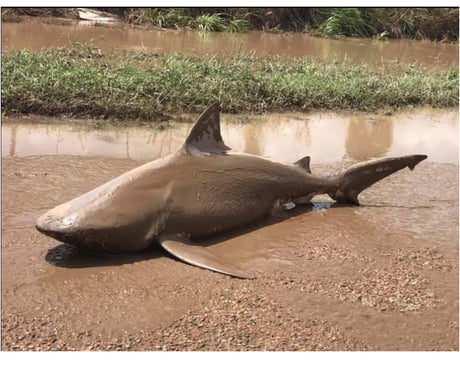 Bull shark which was discovered washed up on a road in the town of Ayr. Australia