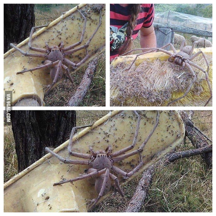 Largest huntsman spider found in Australia  Any thoughts? - 9GAG