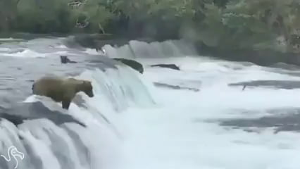 Mama bear jumps into action when she notices her cubs are in trouble