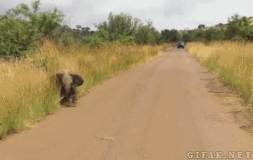 Baby elephant tries to charge a safari jeep.