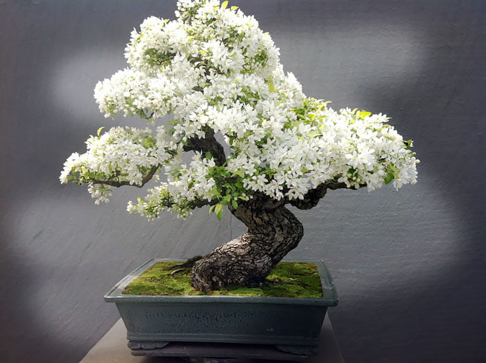 Bonsai tree white flowers 9gag bonsai tree white flowers mightylinksfo