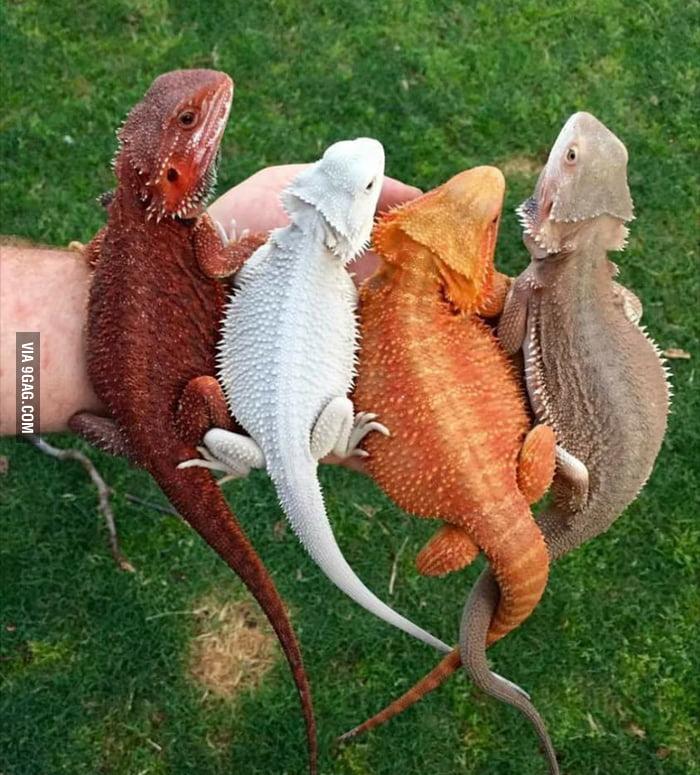 Bearded Dragons (Pogona vitticeps)  Guess their names