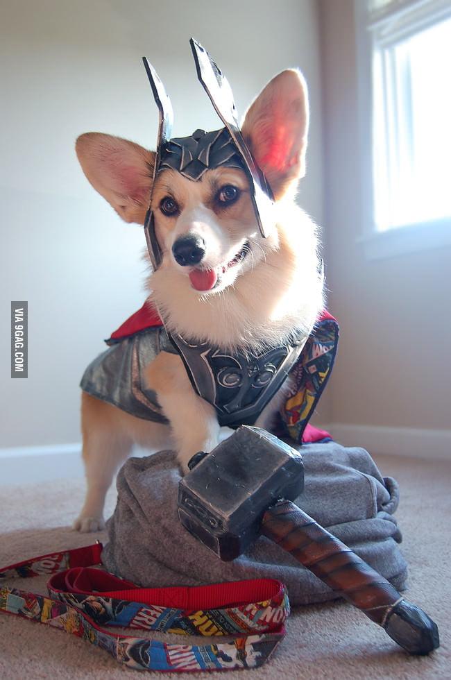 Corgi + Thor = Thorgi!