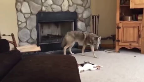 Coyote plays with cate