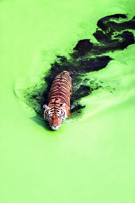 A tiger crossing a green lake