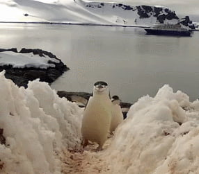 Do the penguin strut
