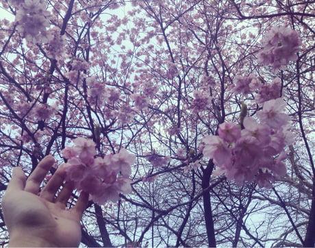 Sakura time in Japan