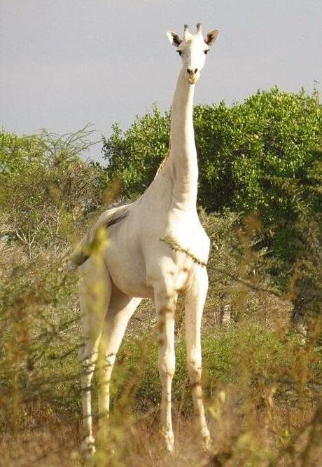A rare albino giraffe