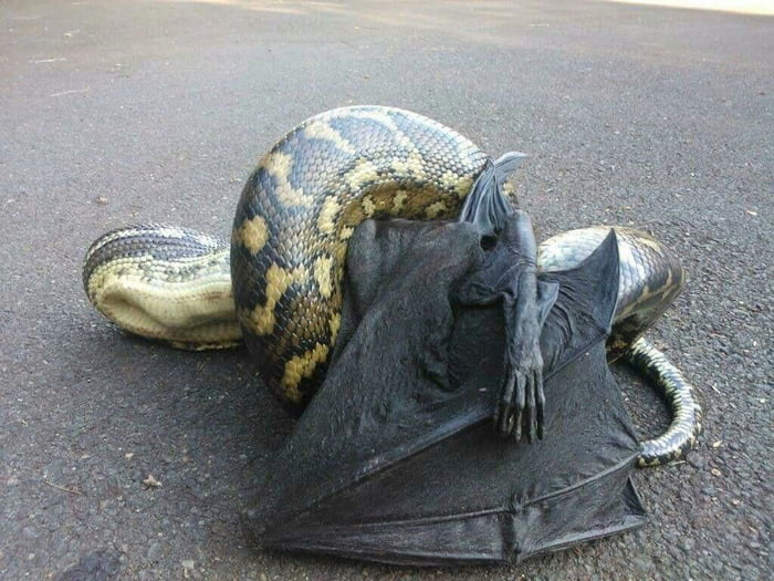 This python caught a demon - 9GAG