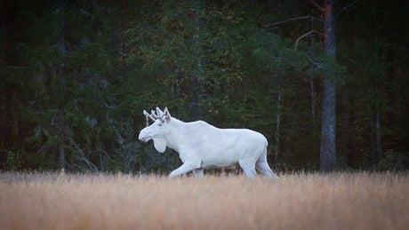 To the guy posting the albino deer... Here's an albino Elk