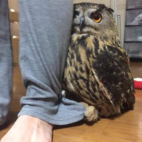 Little shy owl