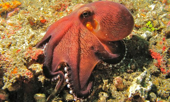 Image result for New Study suggests Octopus might have come from Outer Space