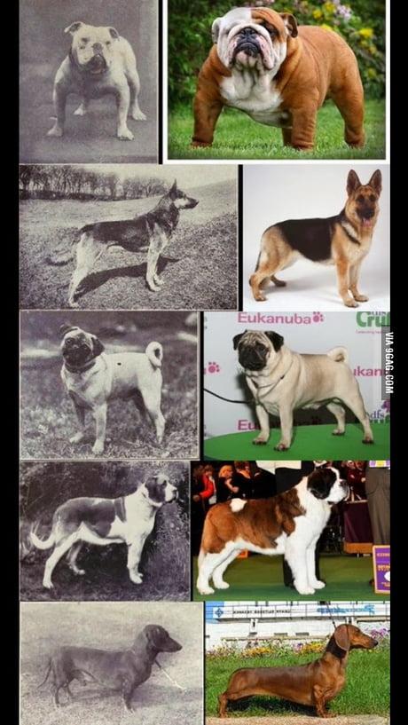 Bulldogs Then And Now Goldenacresdogs
