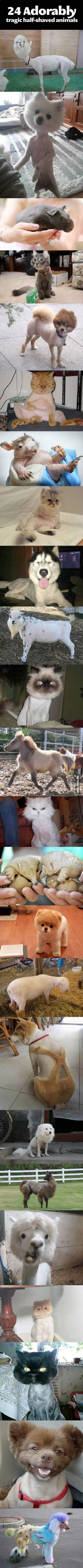 Funny half shaved animals