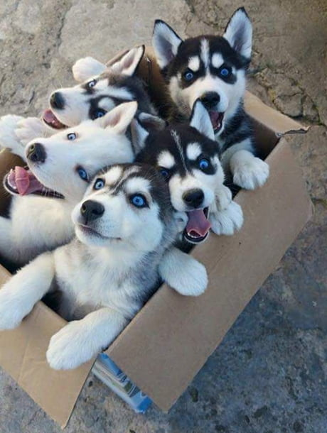 A fresh box of siberian pupcakes