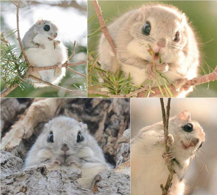 Ezo momonga is a type of flying squirrel unique to Hokkaido. (By Pop Shiretoko 360)