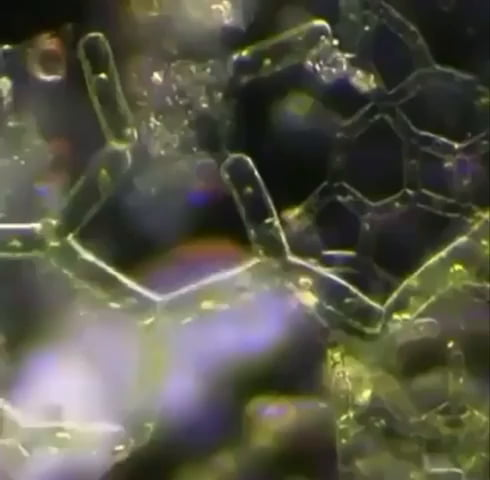 Microscopic tardigrade walking through algae