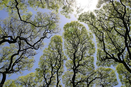 Crown shyness, a phenomenon where the leaves and branches of individual trees don't touch those of other trees, forming gaps in the canopy