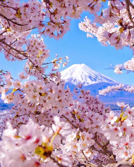 Cherry Blossom Explosion At Mount Fuji Arakurayama Sengen