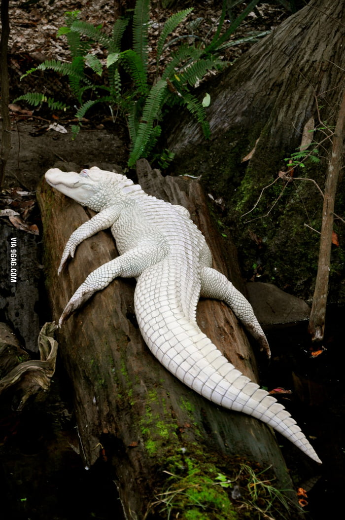 Only 12 of these white alligators left in the entire world