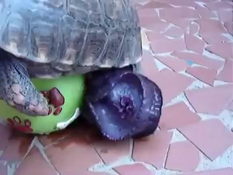 turtle penis 9gag