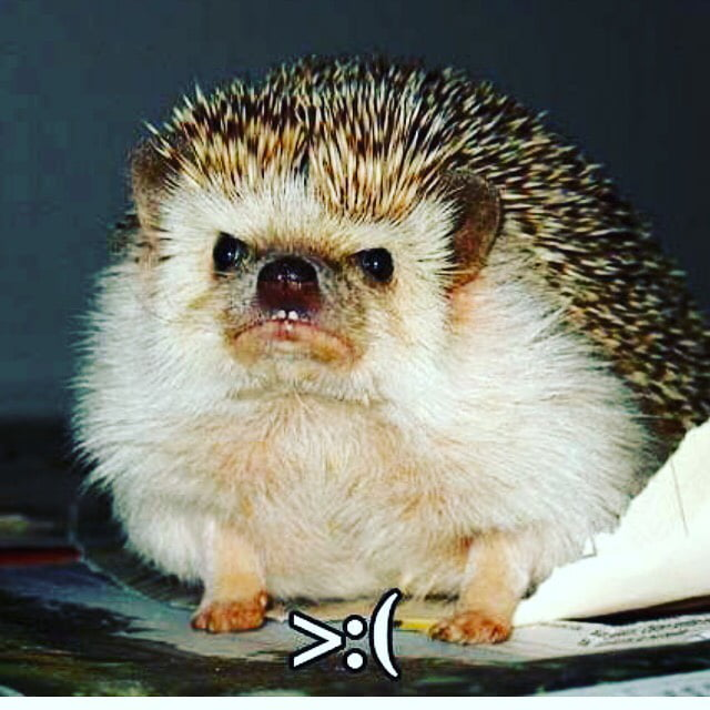 Image result for angry hedgehog