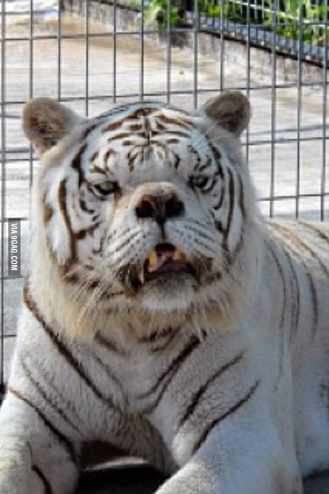Tiger Mit Down Syndrom