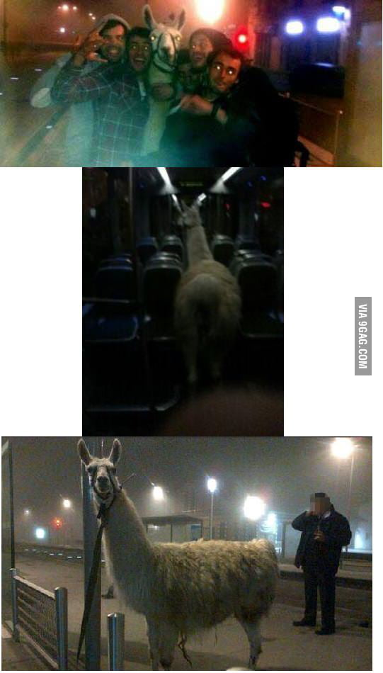 Drunk Guys In Bordeaux France Stole A Llama In A Circus And Took