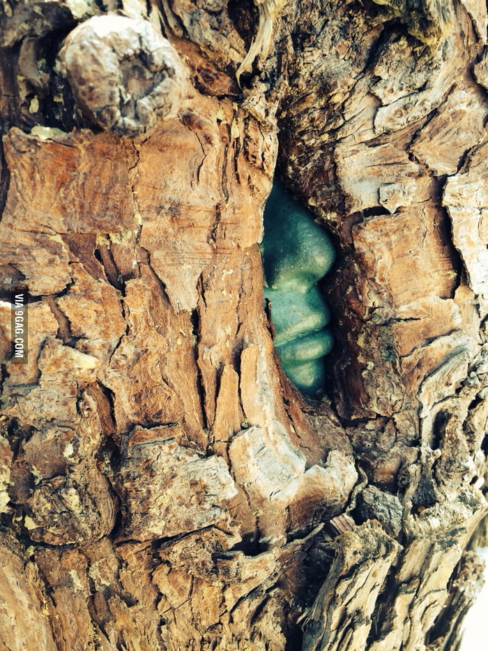 This tree grew around a stone sculpture of a face, making it appear as if there is a green man trapped inside.