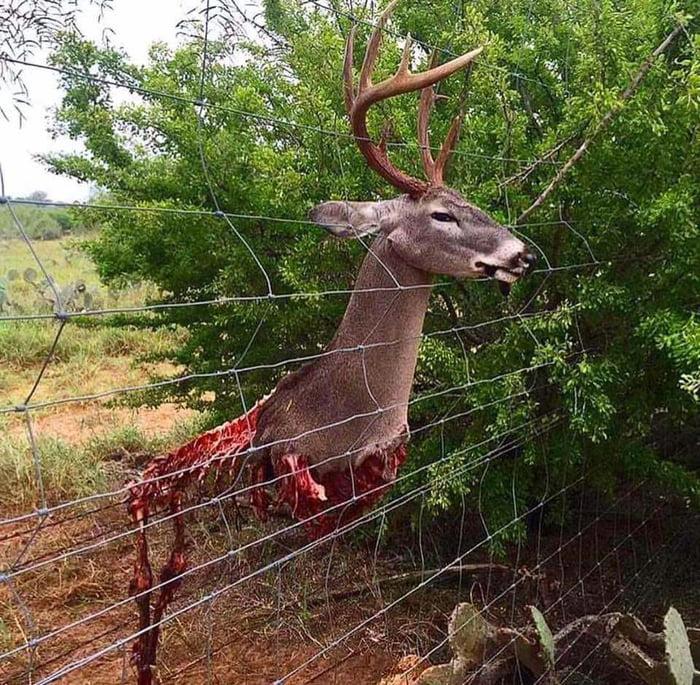 bitch-deer