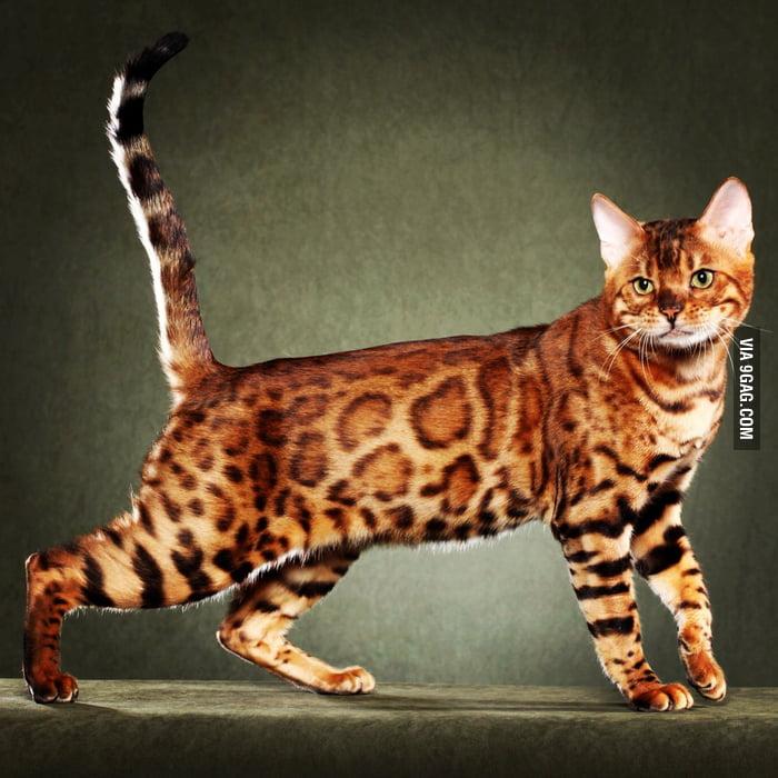 9gag bengal cat