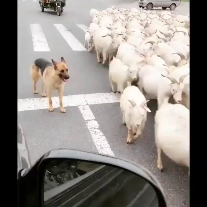 German Shepherd doing his job