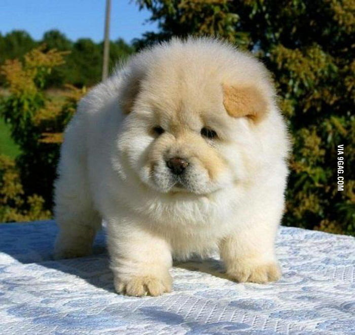 Puppies Who Look Like Bears You Say 9gag