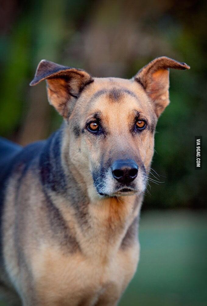 Rhodesian Ridgeback X German Shepherd 9gag