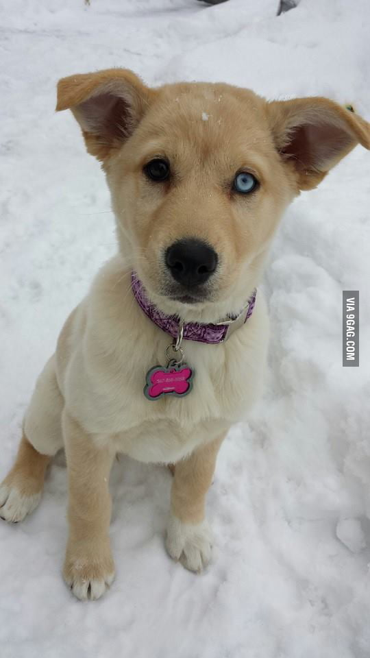 This is my Goberian, or Golden Retriever / Siberian Husky ...